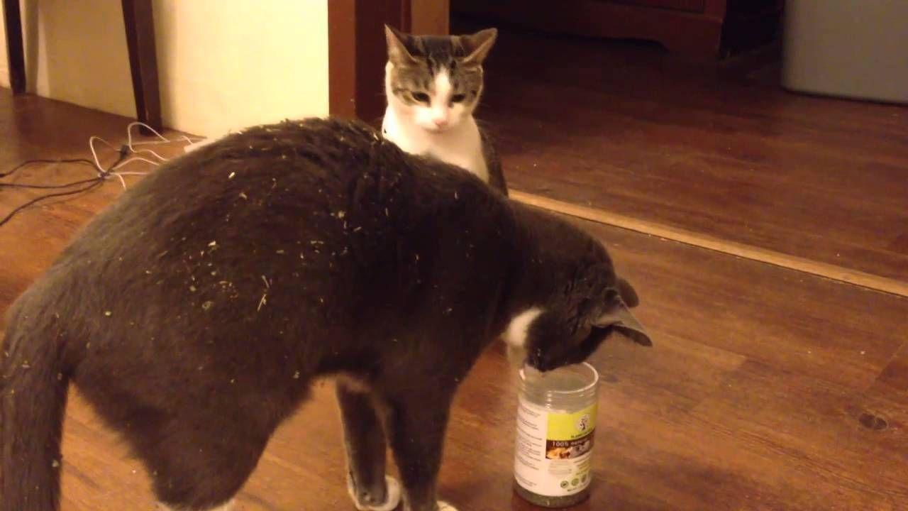 Cats and Catnip Funny! Cats, Cat vs dog, Funny dog videos