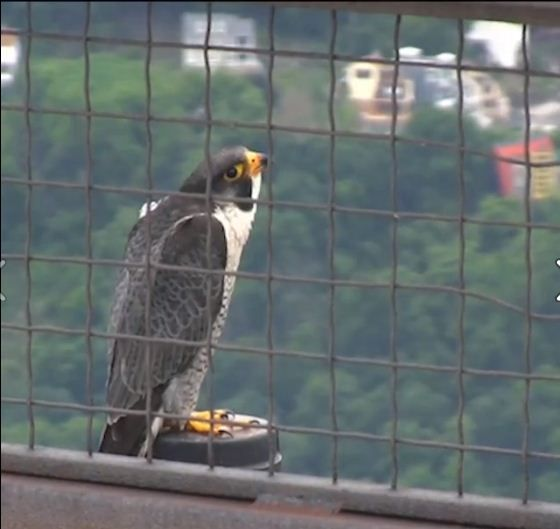 Video: Closeup of falcon perched atop roof of corporate headquarters