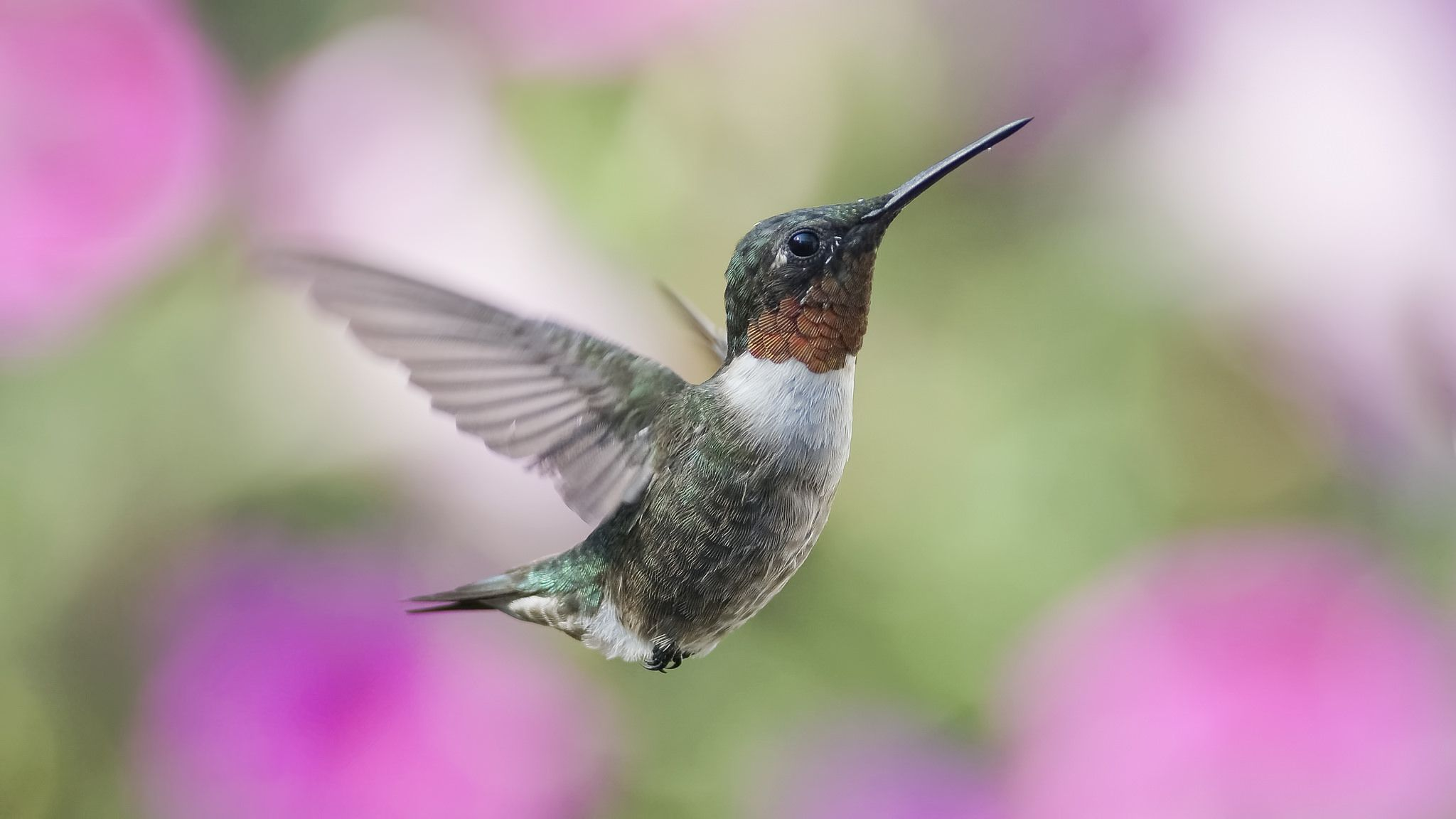 https://flic.kr/p/H3zzKV | Joy in the Garden_DSC0163 | Adult male Ruby-throated Hummingbird flying in the garden.