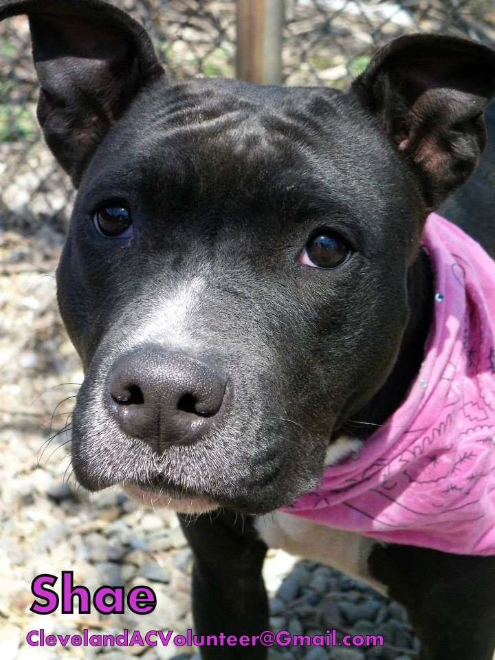 Meet Shae-Euth Date 5/10 a Petfinder adoptable Pit Bull
