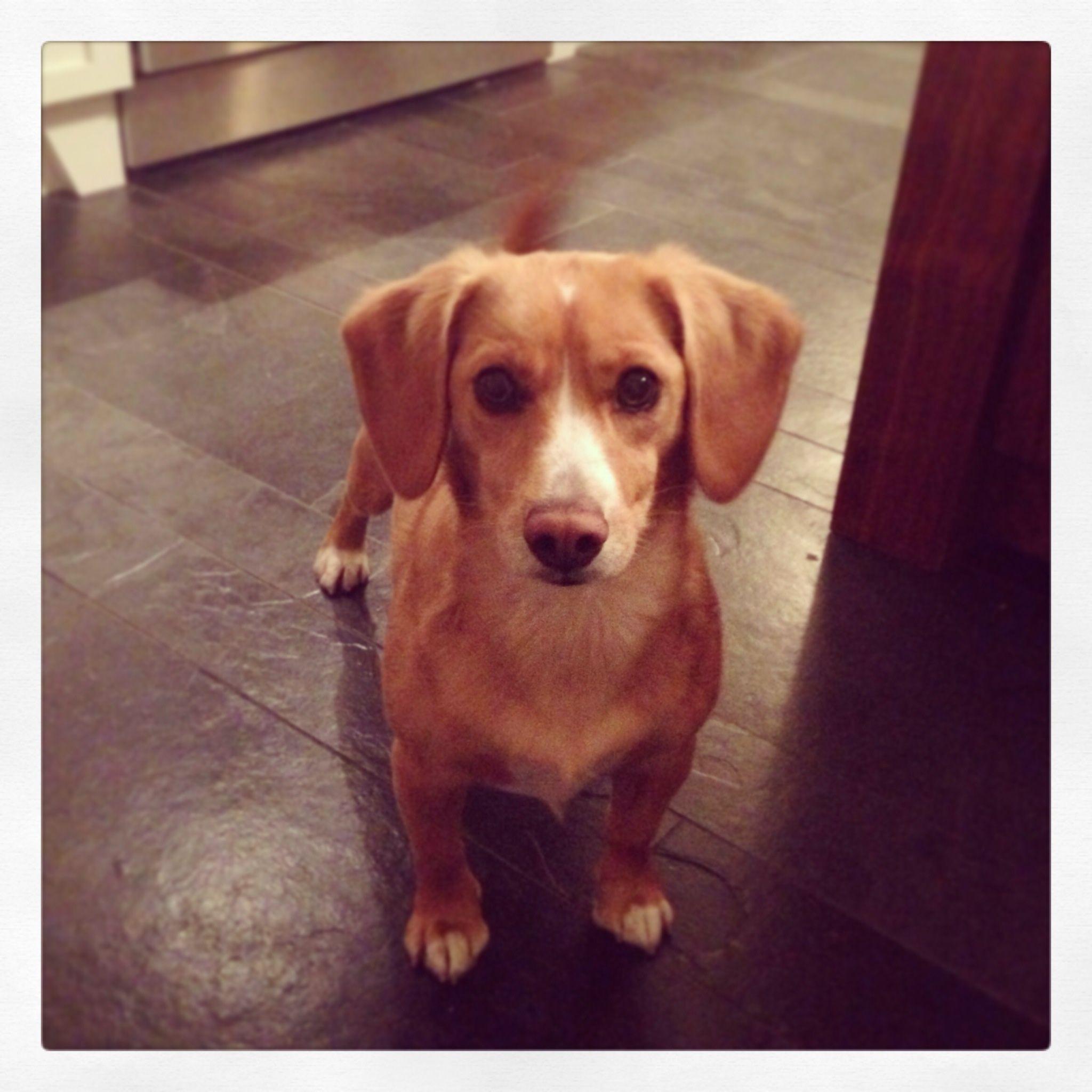Chihuahua Beagle Mix Doggy Beagle