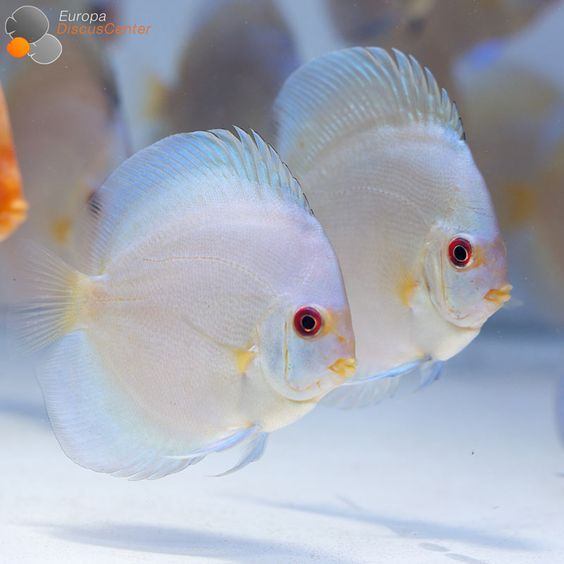 Blue Diamond Diskusfische Beautiful Discus Pinterest Discus