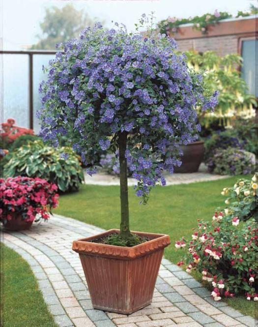 arbre aux gentianes garden and outdoors pinterest arbuste jardins and jardinage. Black Bedroom Furniture Sets. Home Design Ideas