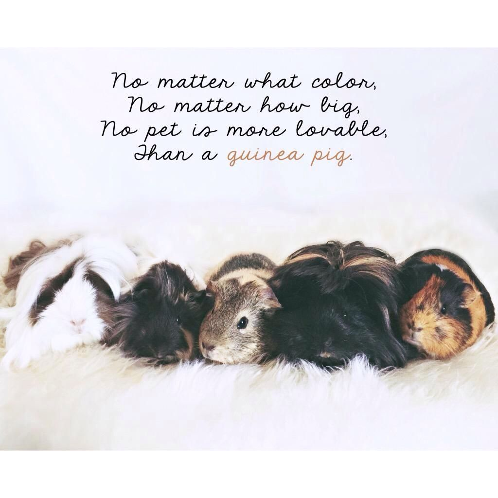 Sometimes You Just Have To Love Guinea Pig Quotes