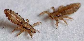 Pin On Head Lice Every Parents Nightmare