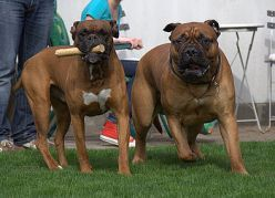 The Molosser Breed Dog Paws Dogs Boxer
