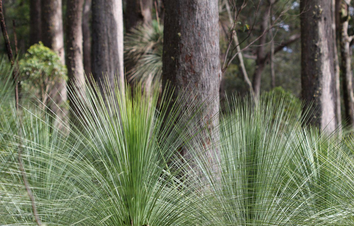 spear grass on the Australian rainforest floor