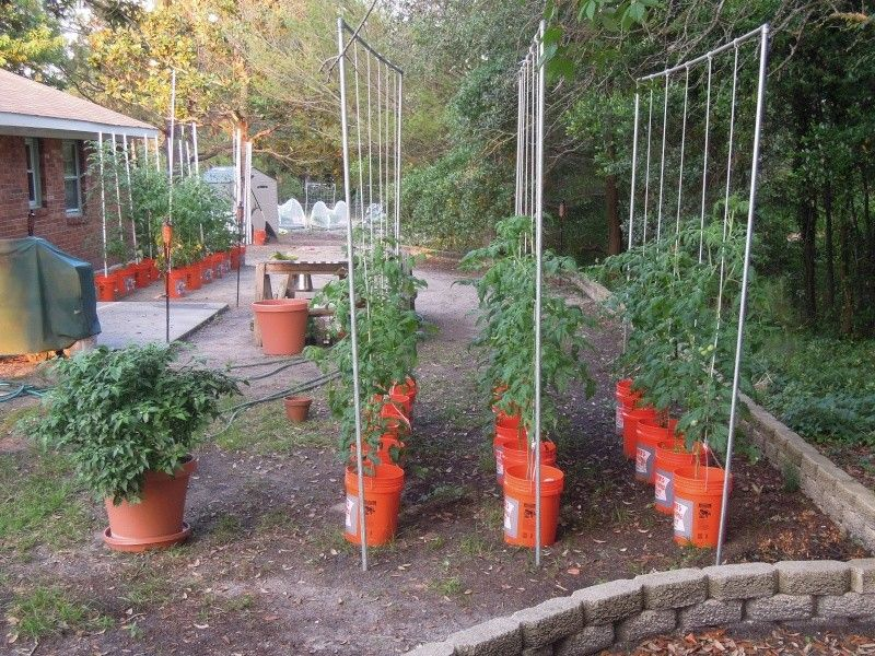 Pumpkin planting in buckets google search homesteading for Gardening 5 gallon bucket