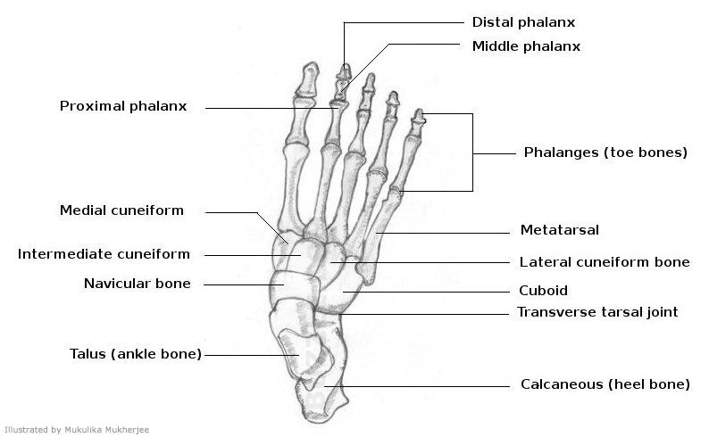 a list of bones in the human body with labeled diagrams ... foot diagram to label
