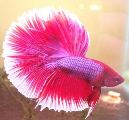 This male betta fish is orange which is a somewhat rare for Betta fish water