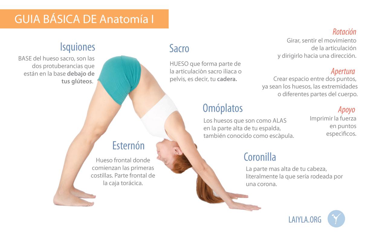 Guía BASICA de anatomía I - Asociación de Instructores de Yoga ...