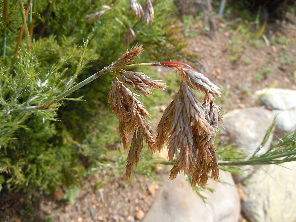 Thamnochortus cinereus head detail - Restiokasvit – Wikipedia