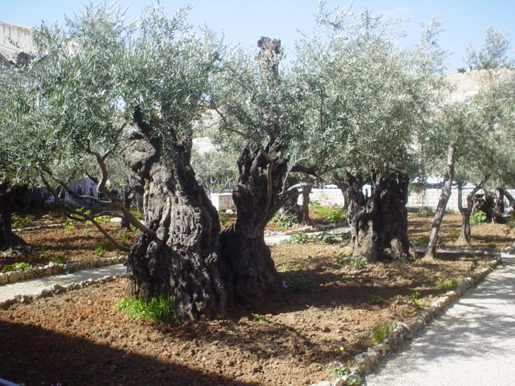 Olive trees in the Garden of Gethsemene, Palestine.