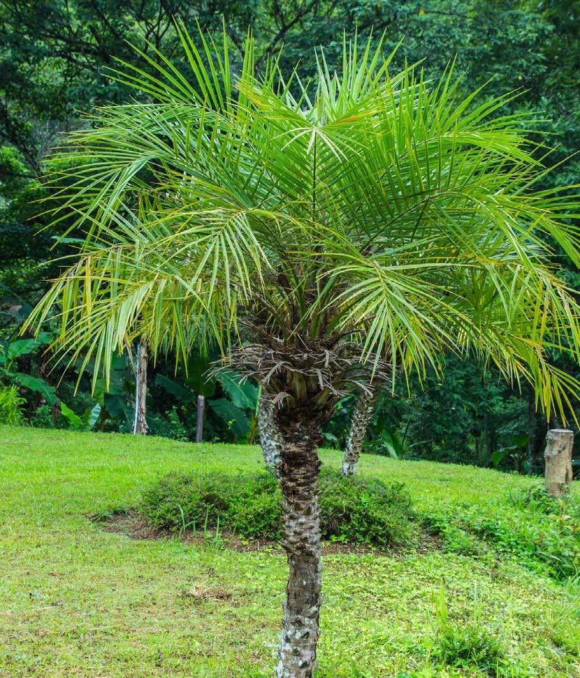 Pygmy Date Palm (Phoenix Roebelenii) Often Grown In A