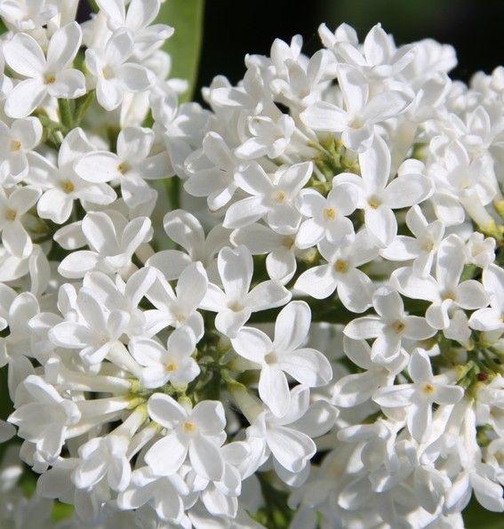Flieder Syringa vulgaris 'Marie Legraye' - Weiße Flieder - Flieder-Premium Fliedertraum