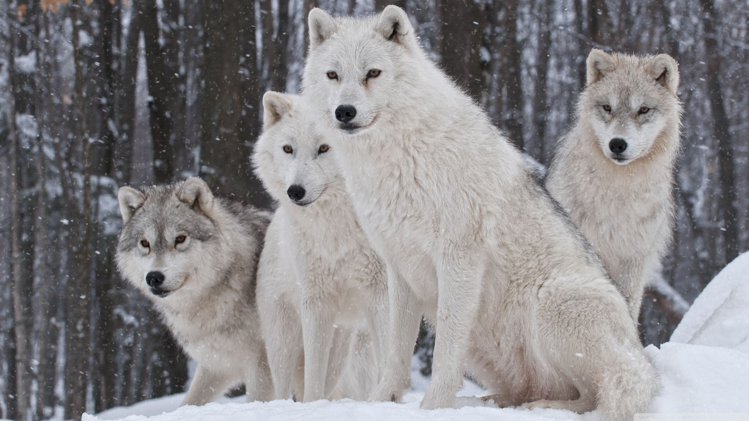 Snow wolves Wallpaper | HD Wallpapers, backgrounds high resolution ... | Nature | Wolf, Wolf ...