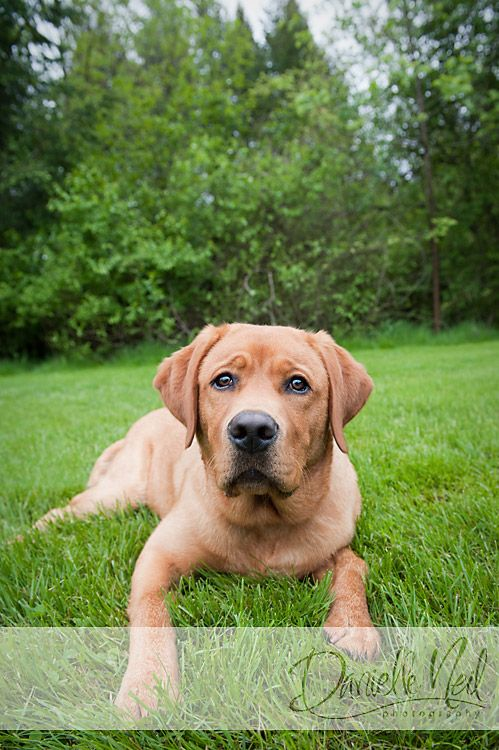 Puppy Portraits At Boardman Park Ohio Pet Photographer Fox Red Labrador Puppy Portraits Dogs