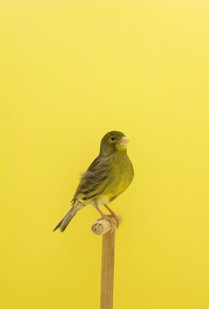Luke Stephenson An Incomplete Dictionary Of Show Birds Fotografia Amarilla Aves Pajaros Animales
