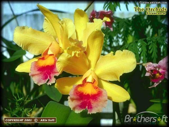 Cattleya Orchids Flower Cards Flowers