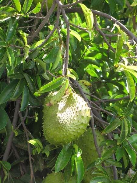 Guanabana Gewichtsverlust Eigenschaften