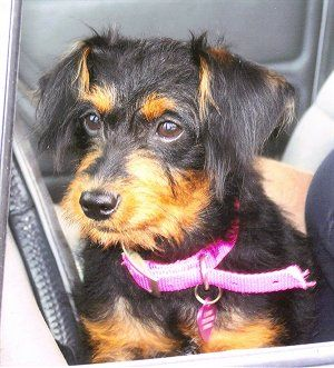 Pinny Poo Pinny Poos Min Pin Poodle Hybrid Dog Breeds Dogs Mini Pinscher