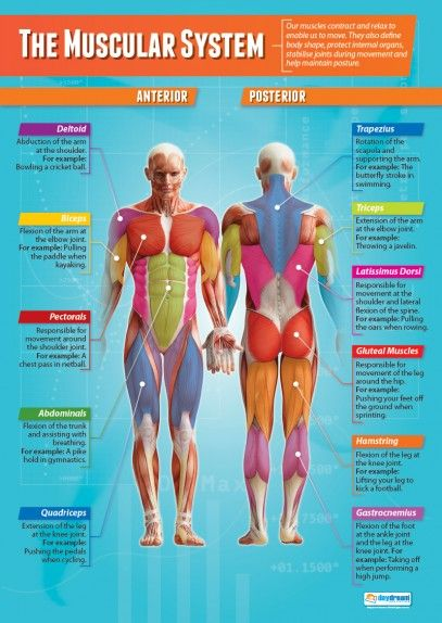 The Muscular System Poster Teaching Ideas Pinterest Muscular - sample physical education lesson plan template