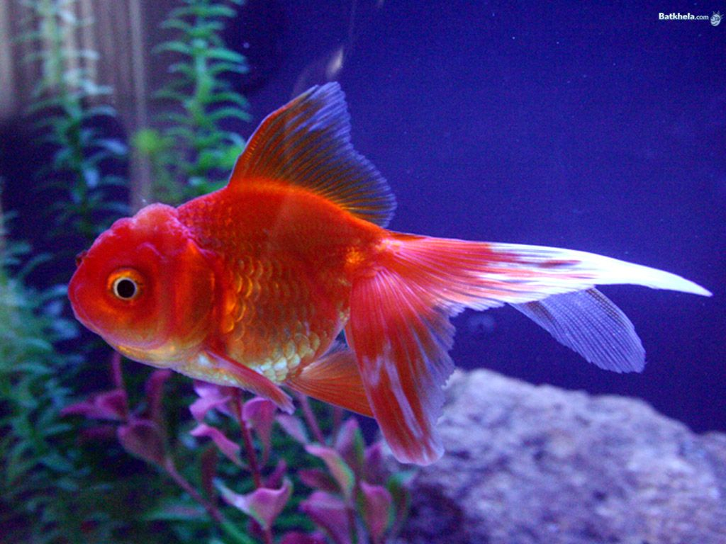 Freshwater fish kingdom - Most Popular Pet Fish