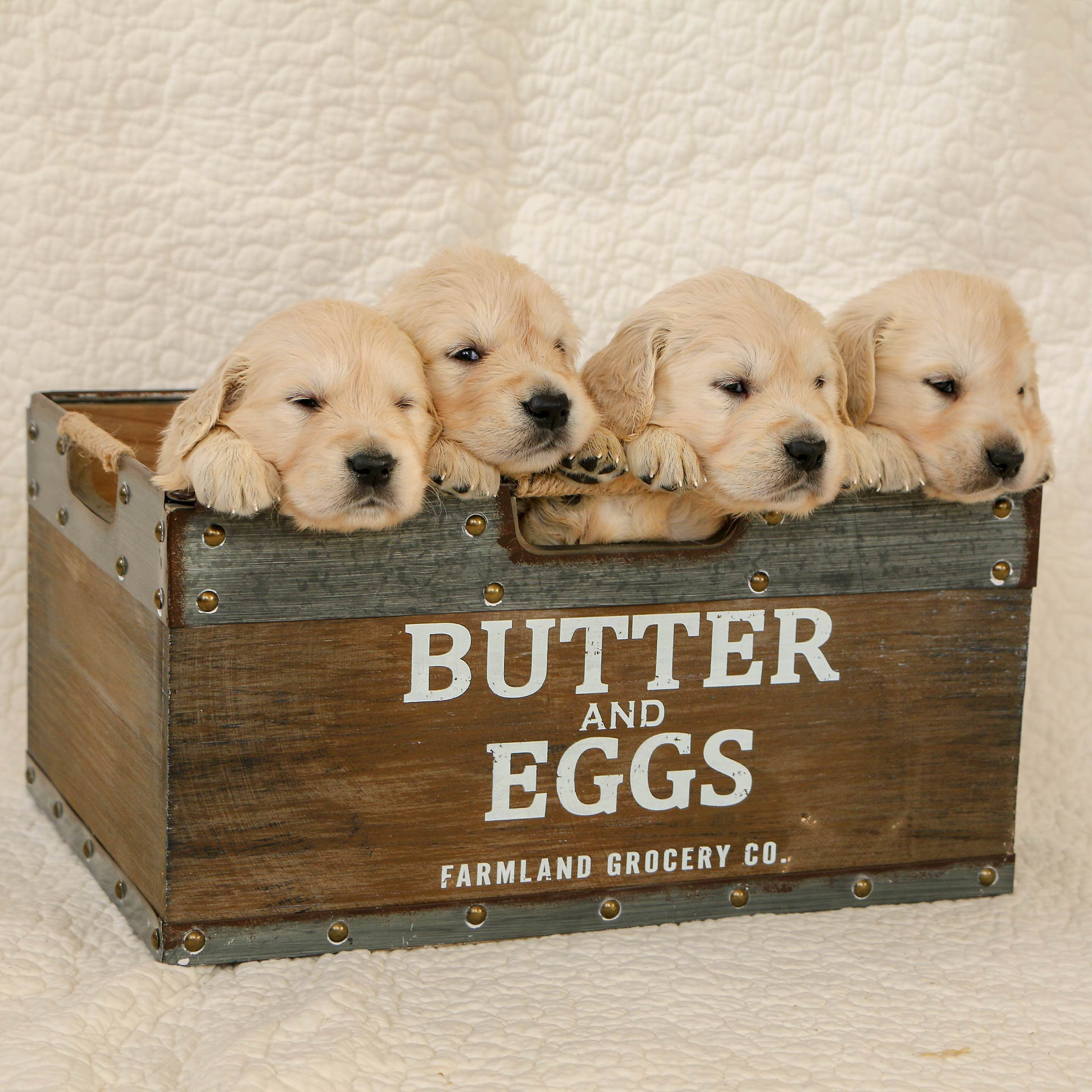 Marcus Zimmerman Has Golden Retriever Puppies For Sale In