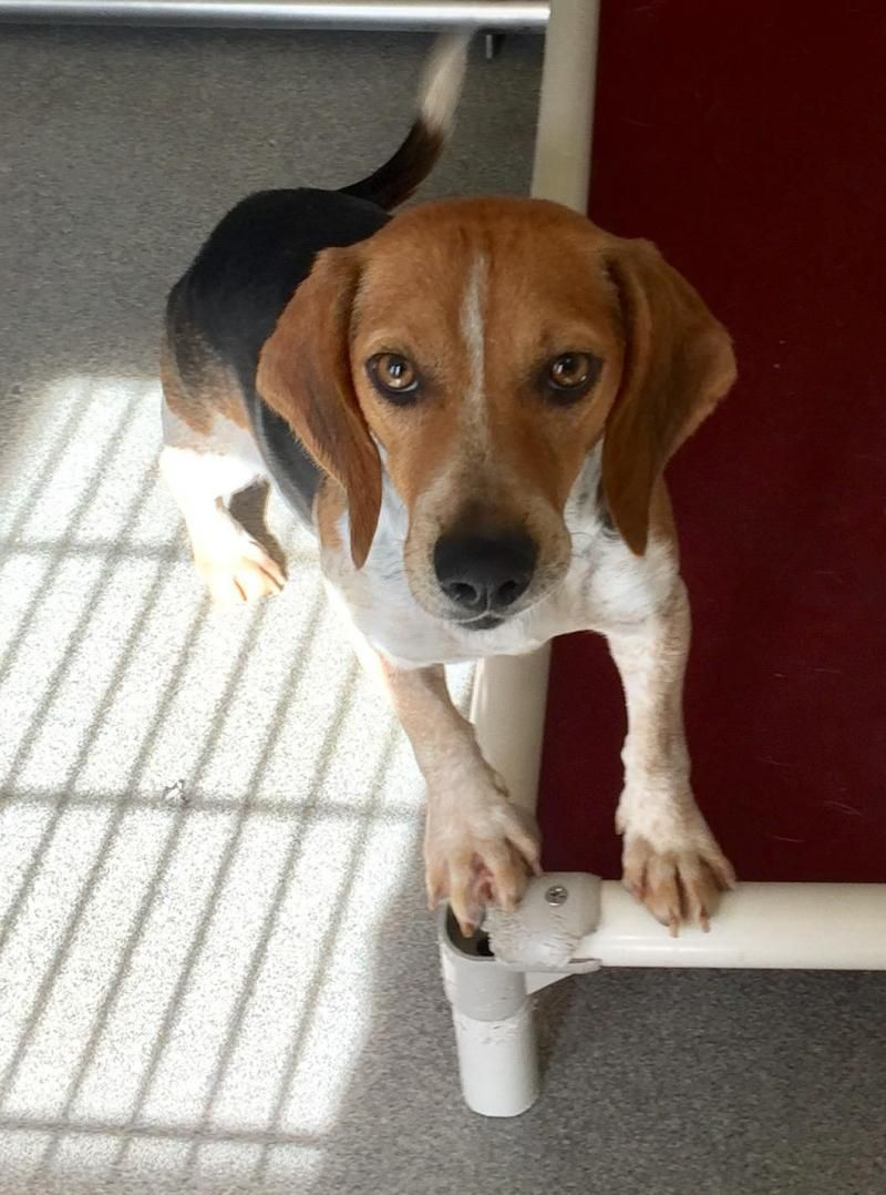 Adopt Maggie On Dog Breeds Adoptable Beagle Beagle Puppy