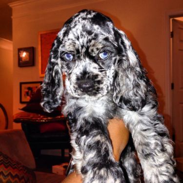 Blue Eyed Merle Aca Cocker Spaniel Puppy Cocker Spaniel Puppies Dogs Spaniel Puppies