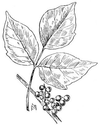 poison ivy coloring sheet first aid step 5