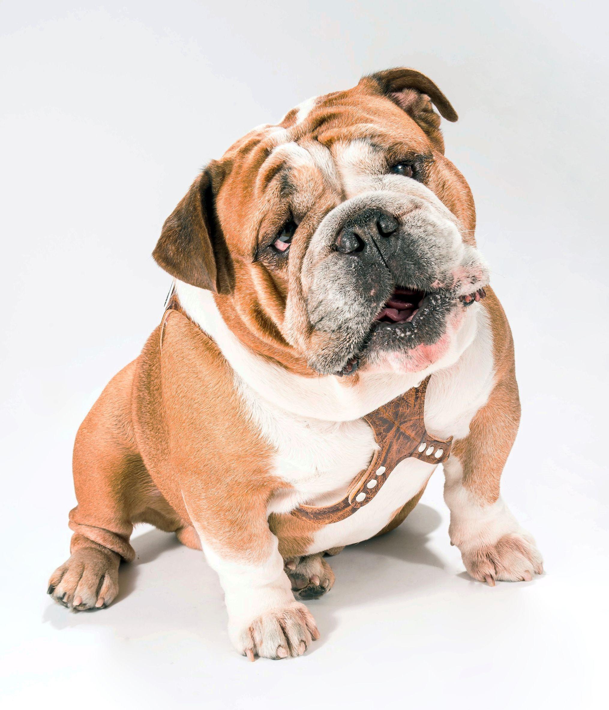 English Bulldog Chance Is Wearing A Bark Buddy Belt Dog Harness