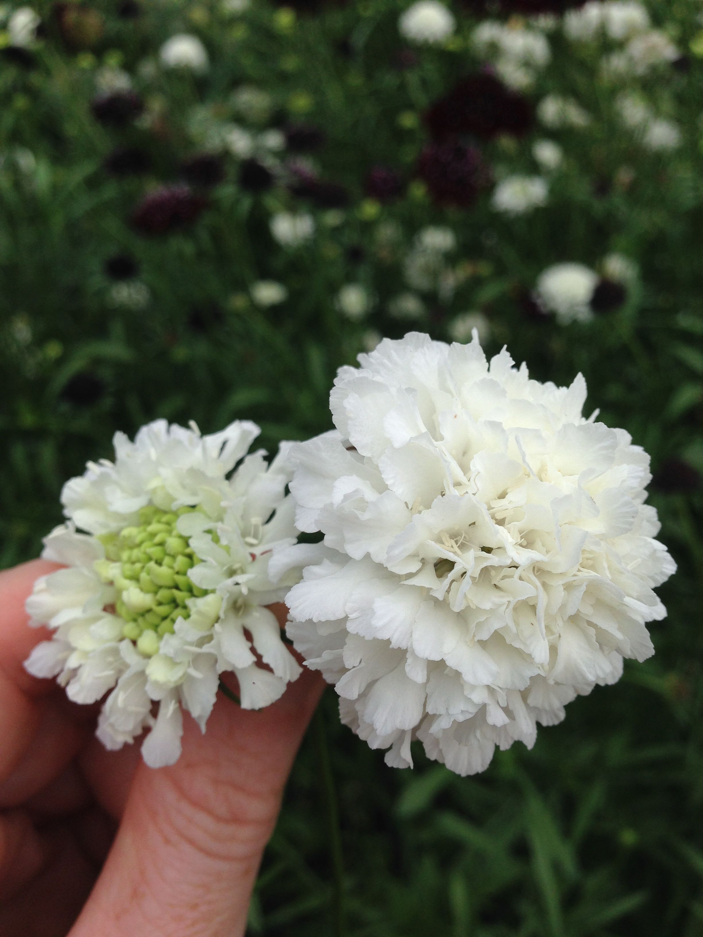White Scabiosa September Flowers Pinterest August Flowers And