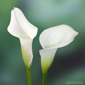 Mini-Calla Lilies are widely used as wedding flowers and event decorations. These beautiful flowers are available year-round from flower farms in Central America, South America and California. Available in a rainbow of different colors, Mini-Calla Lilies can be matched to just about any color scheme! Visit GrowersBox.com for more information on Mini-Calla Lilies and other popular varieties of wholesale flowers and wedding flowers.