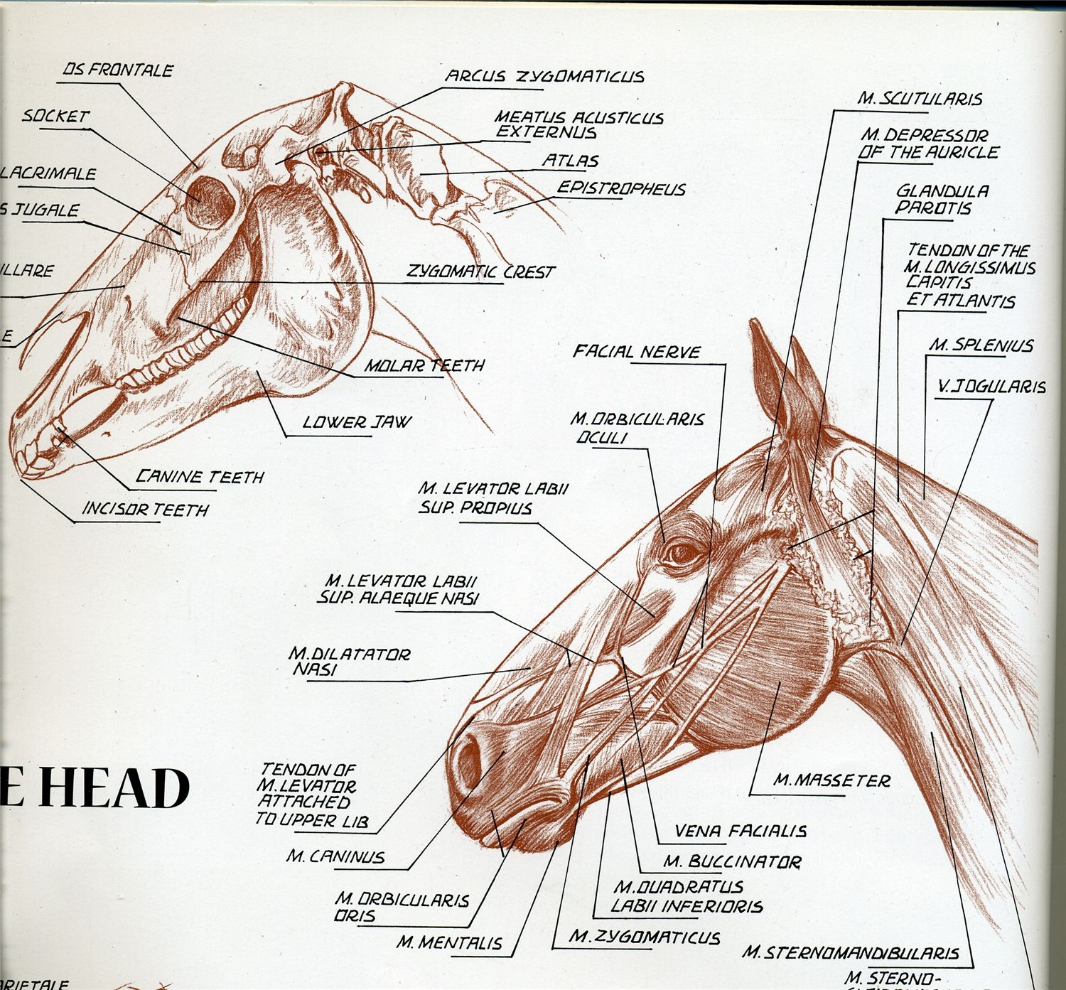 Pin by Izabella Gowdy on Horse Anatomy | Pinterest | Horse, Anatomy ...