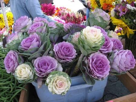 flowering kale cabbage - Google Search