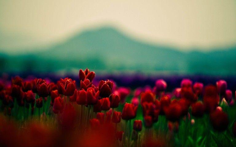Red Tulips Flower Field Wallpaper