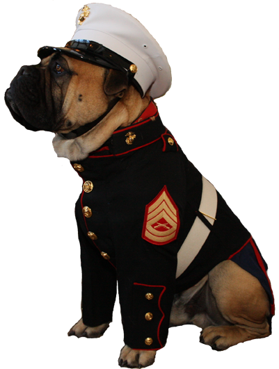 Dress Blues for our boxer, Texas Ranger, so he'll match the groom. He'll be our Ring Bearer.
