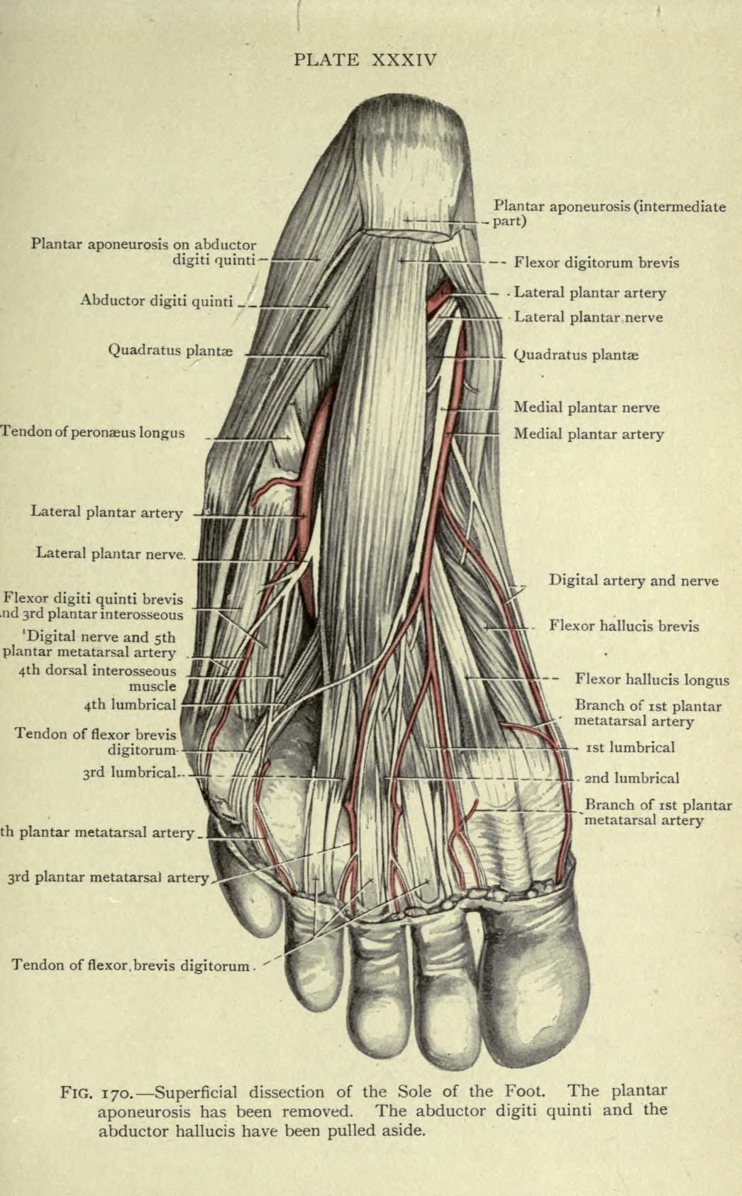 Cunninghams Manual Of Practical Anatomy How To Draw Pinterest