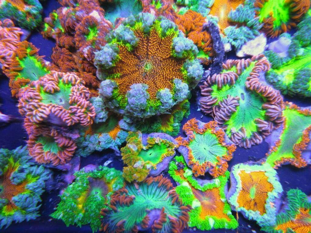 Pin By Pacific Deity On Reef Aquarium Anemone Sea Anemone Flowers