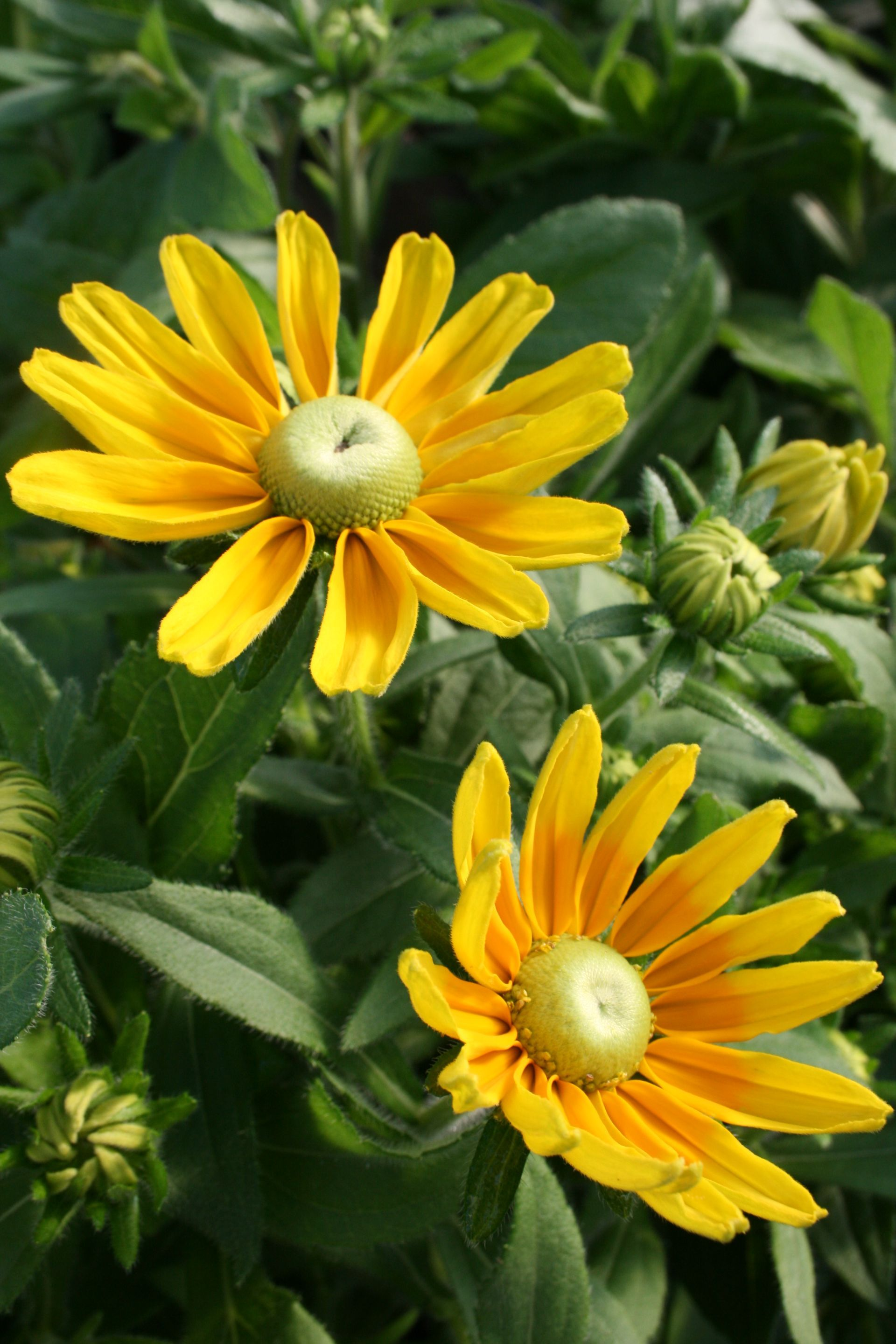 Rudbeckia Is A Sun Loving Perennial Meaning It Comes Back Every
