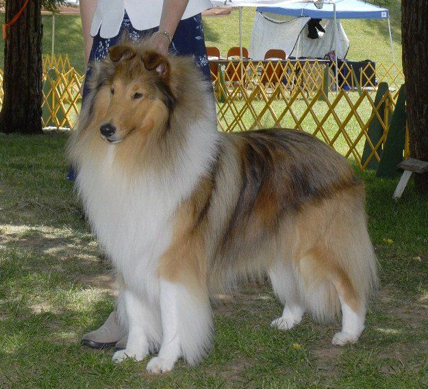 Castlebar Collies Akc Breeder Rough Collies Smooth Collies