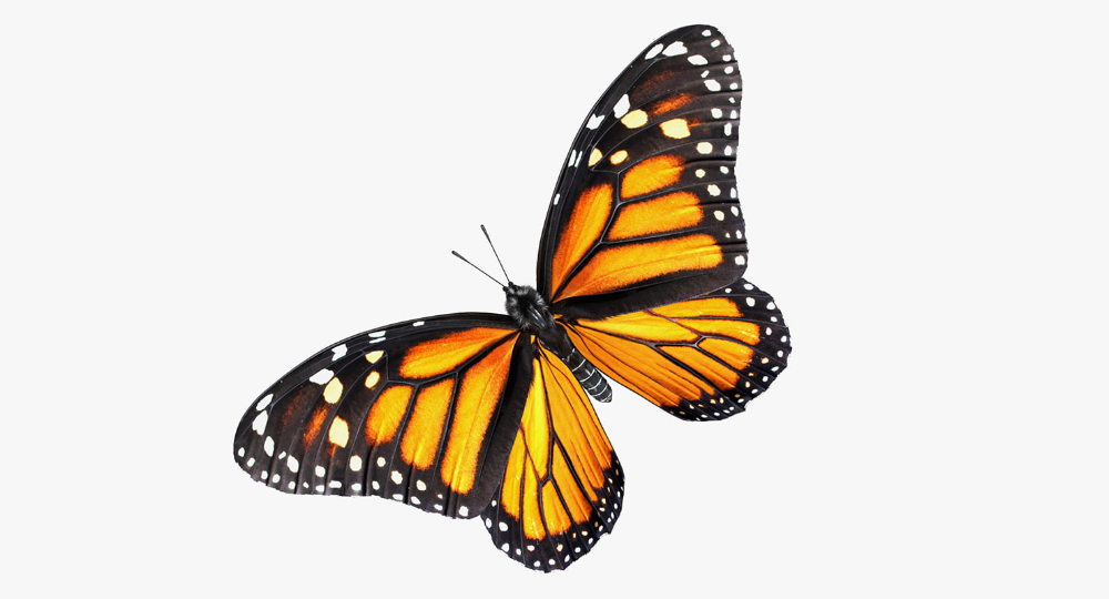Monarch Butterfly Fur Rigged 3d Model Turbosquid 1259024 3d Model Monarch Butterfly Monarch