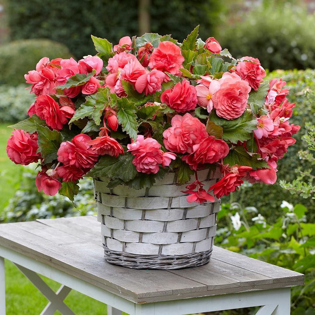 Netherland Bulb Company On Instagram Plant Begonias Indoors Now For Early Summer Blooms Click The Link In Our Bio To Find A In 2020 Begonia Beautiful Flowers Plants