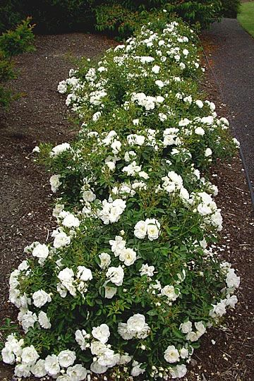 """Flower Carpet® WHITE Rose from http://www.tesselaar.com/plants/flower-carpet-roses/flower-carpet-white/: """"One of the earliest Flower Carpet roses to bloom in Spring, it has a pleasant fragrance. . .Flower Carpet® WHITE has excellent disease-resistance to common rose blights such as black spot and mildew"""""""