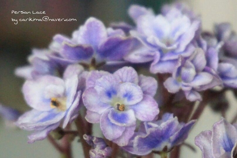 #Africanviolet   #Persian_Lace