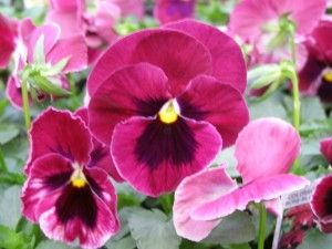 Pansy Colossus Rose Blotch Pansies Fall Plants Love Flowers