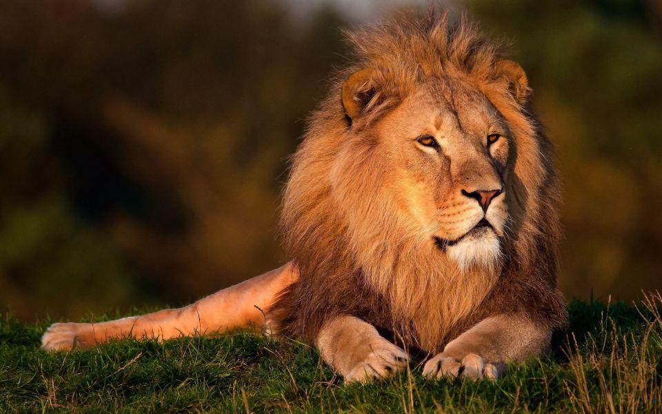 Lion Pictures Animal Sounds Lion