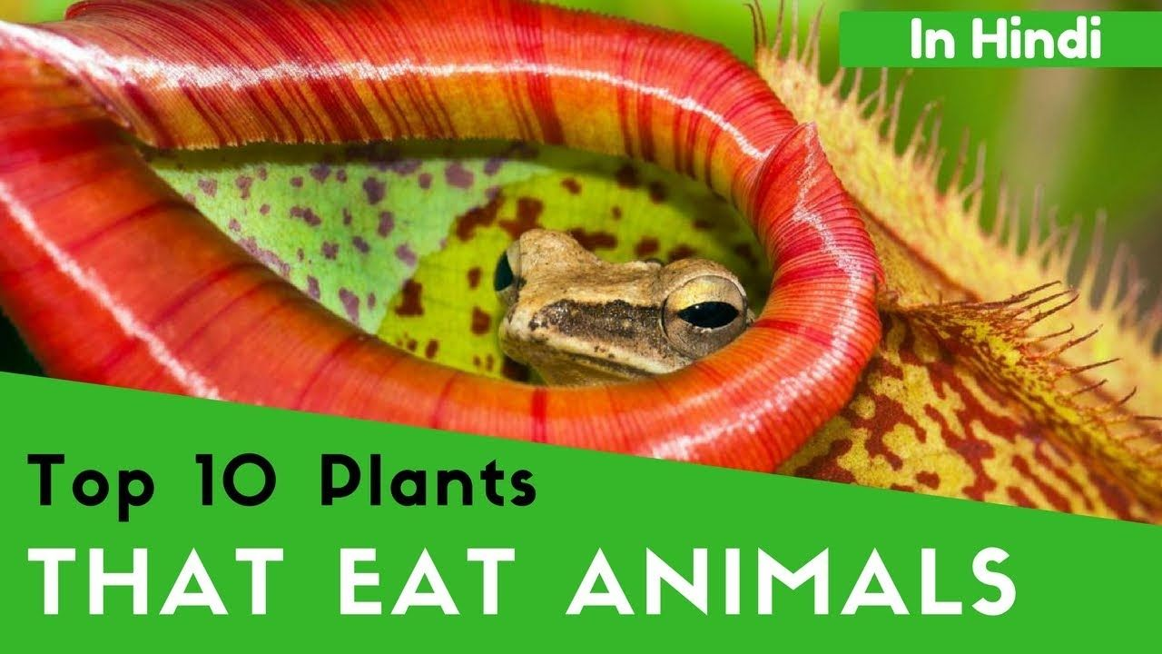 10 plants that eat animals in hindi 10 पध ज जनवर क खत ह