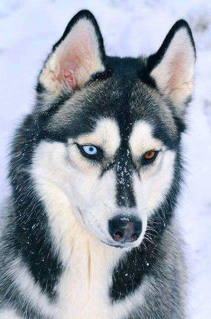 Amazing Husky Beautiful Eyes Pet Dogs Beautiful Dogs Cute